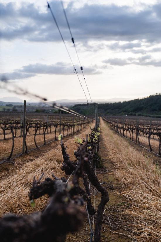 Hintergrundwissen zum Weinbau in Südafrika